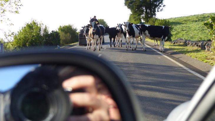 Kühe Cows Kühe